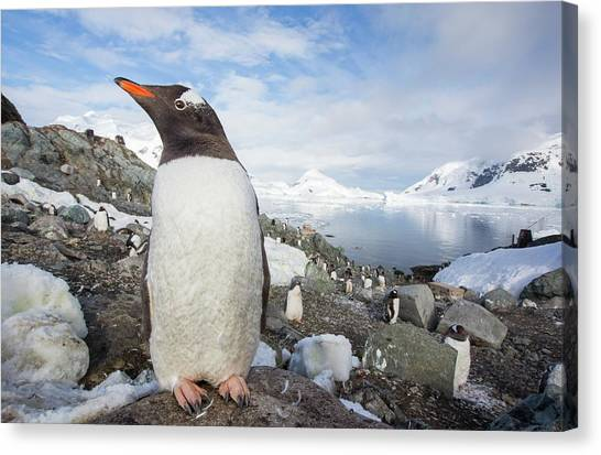 Climate Change Canvas Print - Gentoo Penguins by Ashley Cooper