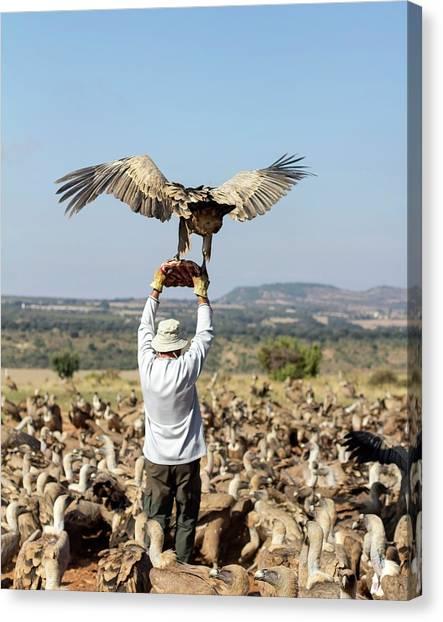 Griffons Canvas Print - Griffon Vulture Conservation by Nicolas Reusens