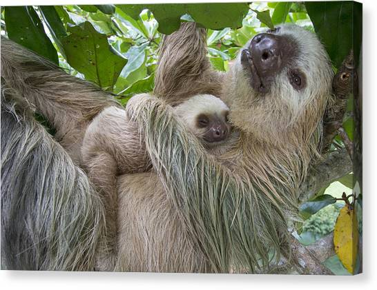 Animal Behaviour Canvas Print - Hoffmanns Two-toed Sloth And Old Baby by Suzi Eszterhas