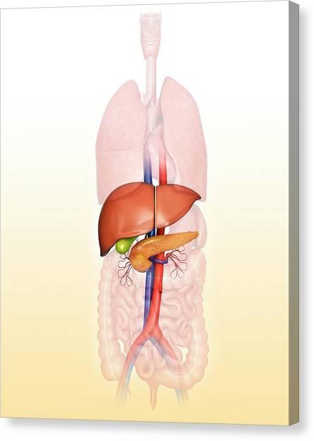 Internal Organs Canvas Print - Human Internal Organs by Pixologicstudio