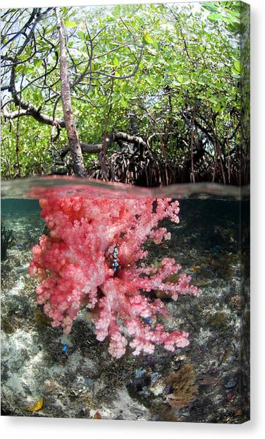 Mangrove Trees Canvas Print - Indian Ocean, Indonesia, Raja Ampat by Jaynes Gallery