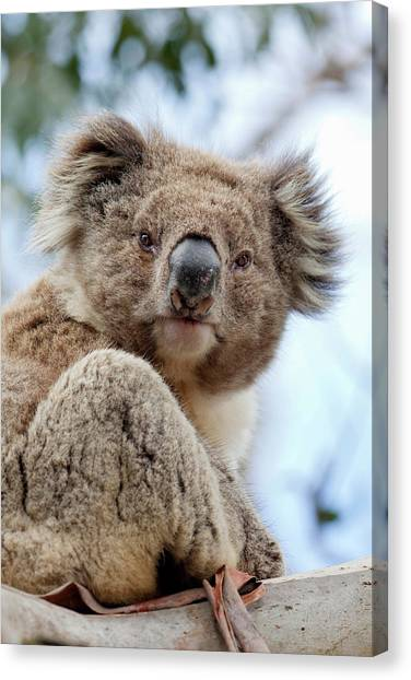 Great Otway National Park Canvas Print - Koala (phascolarctos Cinereus by Martin Zwick