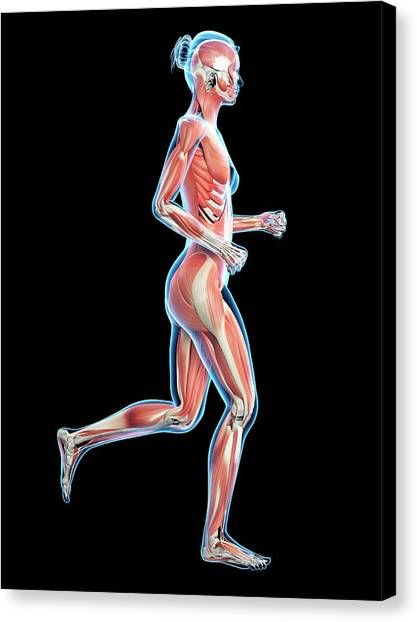 Jogger Canvas Print - Muscular System Of Runner by Sebastian Kaulitzki