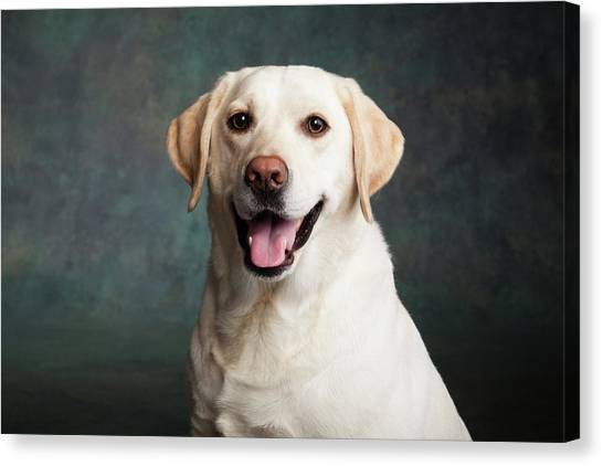 Yellow Lab Canvas Print - Portrait Of A Yellow Labrador Dog by Animal Images