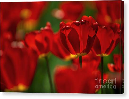 Tulips Canvas Print - Red And Yellow Tulips by Nailia Schwarz