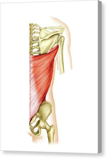 Shoulder Muscles Canvas Print by Asklepios Medical Atlas