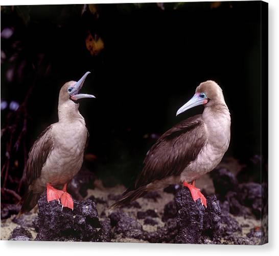 Boobies Canvas Print - South America, Ecuador, Galapagos by Jaynes Gallery