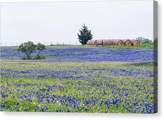 Texas Bluebonnets 5 Canvas Print