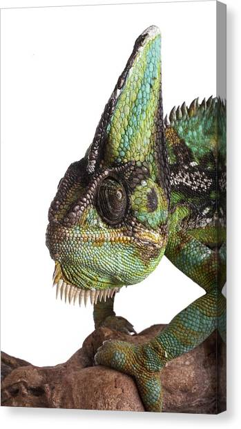 Veiled Chameleon Canvas Print by Science Photo Library