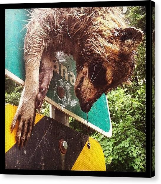 Raccoons Canvas Print - Road Kill Raccoon by Marcela Martinez