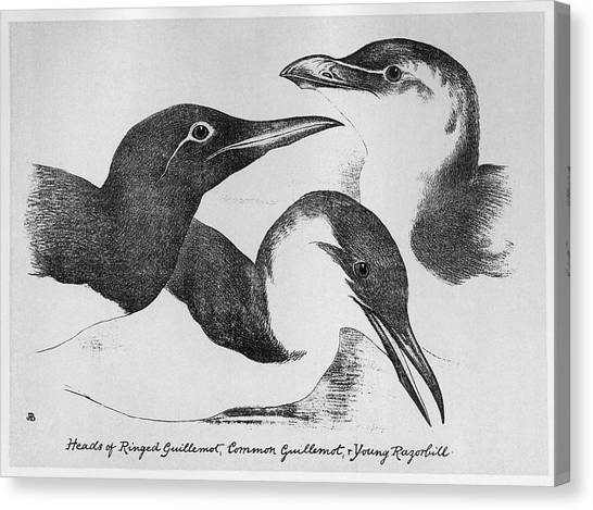 Razorbills Canvas Print - Blackburn Birds, 1895 by Granger