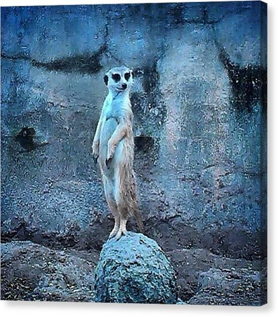 Meerkats Canvas Print - Instagram Photo by Becky Peak