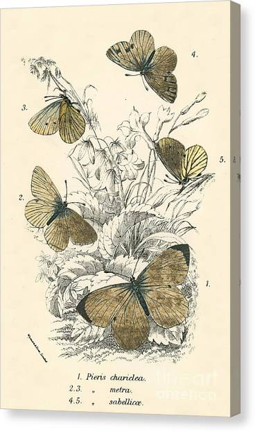 Moth Canvas Print - Butterflies by English School