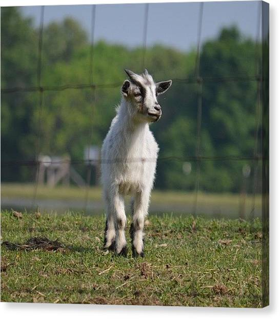 Goats Canvas Print - Cute Goat by Jessica Thomas