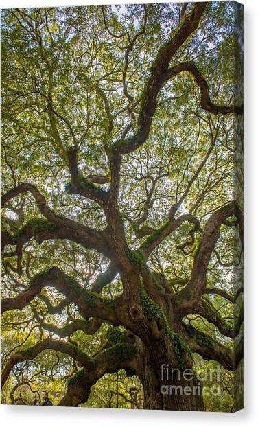 Island Angel Oak Tree Canvas Print