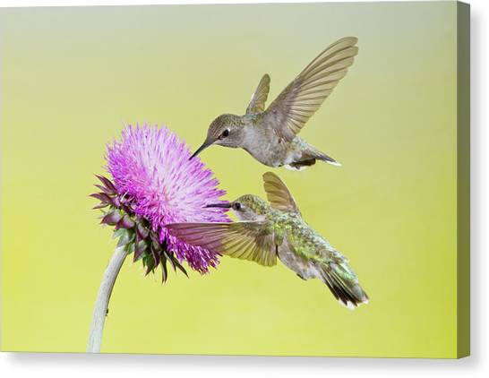 Chin Canvas Print - Black-chinned Hummingbird (archilochus by Larry Ditto