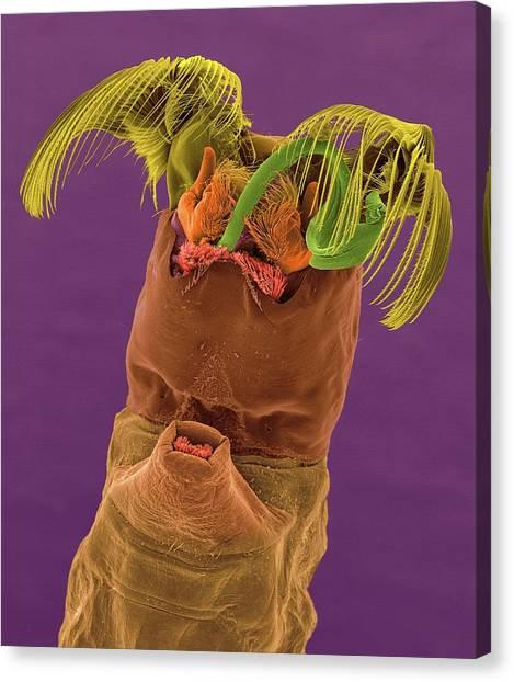 Gnats Canvas Print - Black Fly Larva by Dennis Kunkel Microscopy/science Photo Library