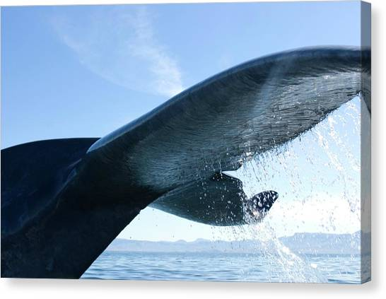 Blue Whales Canvas Print - Blue Whale by Christopher Swann/science Photo Library