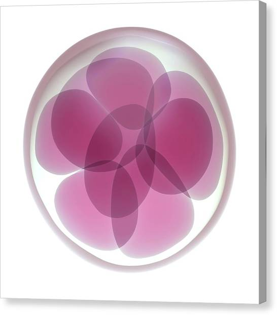Fertilize Canvas Print - Fertilised Egg Cell Dividing by Maurizio De Angelis