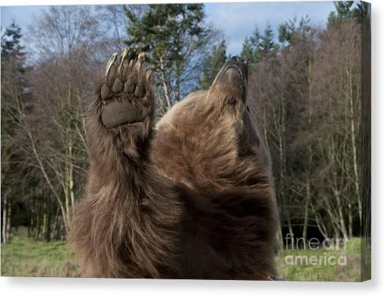 Bear Claws Canvas Print - Grizzly Bear by Mark Newman