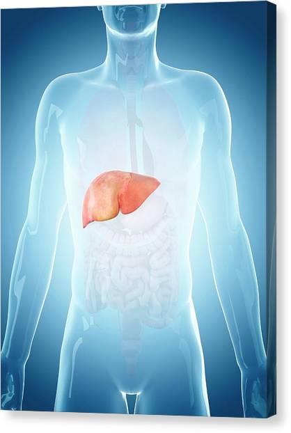 Human Liver Canvas Print by Sebastian Kaulitzki/science Photo Library