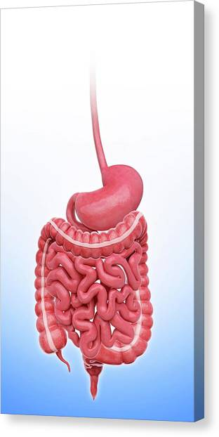 Sigmoid Colon Canvas Print - Human Stomach by Pixologicstudio