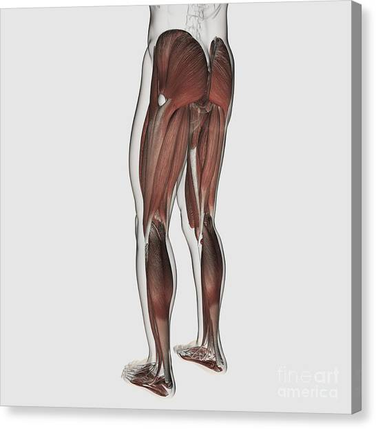 Gluteal Muscles Canvas Prints Fine Art America