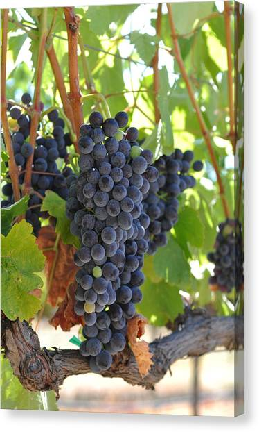 Red Grapes On The Vine Canvas Print