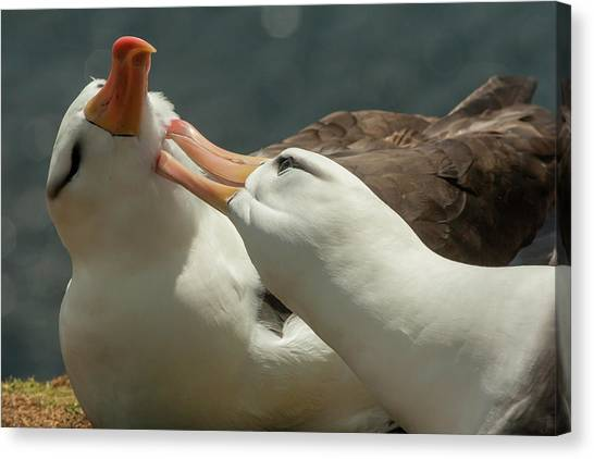 Albatross Canvas Print - South America, Falkland Islands by Jaynes Gallery