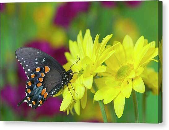 Spicebush Swallowtail, Papilio Troilus Canvas Print by Darrell Gulin