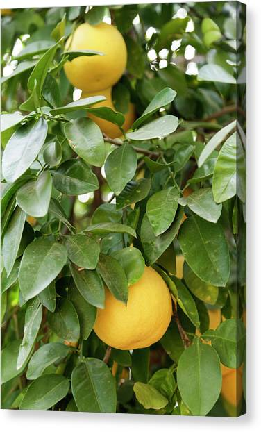 Grapefruits Canvas Print - Tucson, Arizona, United States by Julien Mcroberts