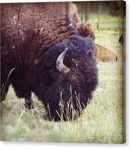 Yellowstone National Park Canvas Print - Bison Graze by Denette Jacobson