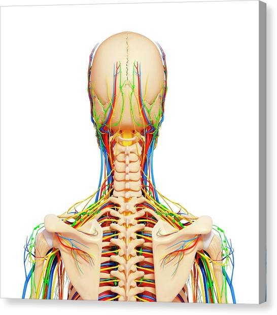 Head And Neck Anatomy Canvas Prints Page 4 Of 7 Fine Art America