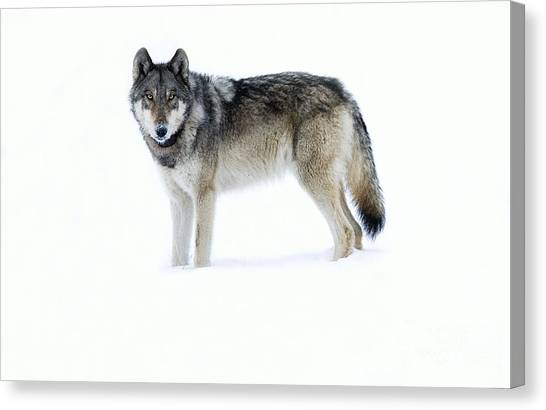Wolves Canvas Print - 820f Of The Lamar Canyon Pack by Deby Dixon