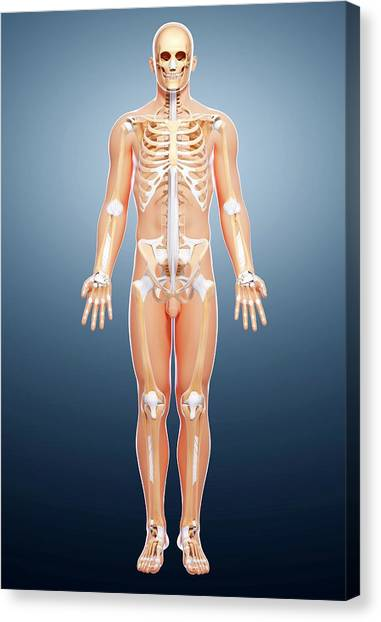 Male Skeleton Canvas Print by Pixologicstudio/science Photo Library