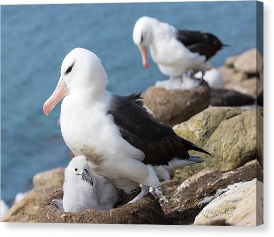 Albatrosses Canvas Print - Black-browed Albatross (thalassarche by Martin Zwick