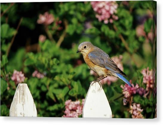 Lilac Bush Canvas Print - Eastern Bluebird (sialia Sialis by Richard and Susan Day