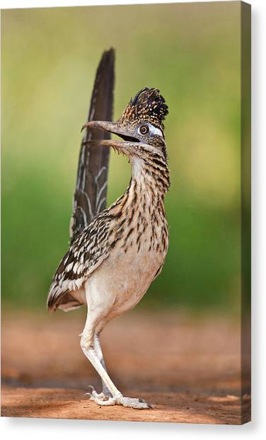 Greater Roadrunner (geococcyx Canvas Print by Larry Ditto
