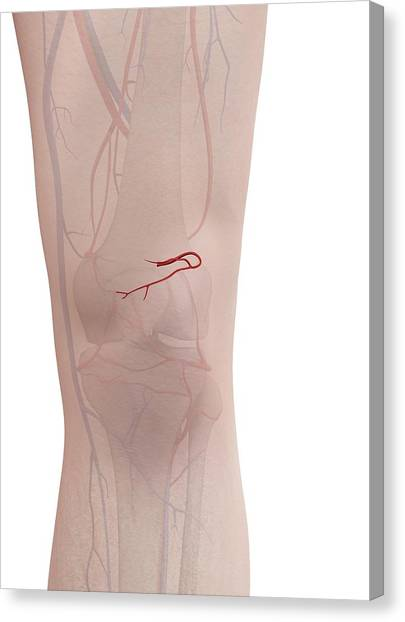 Human Arteries Canvas Print by Sciepro