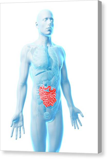 Male Intestine Canvas Print by Sebastian Kaulitzki