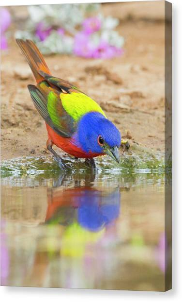 Bunting Canvas Print - Painted Bunting (passerina Ciris by Larry Ditto