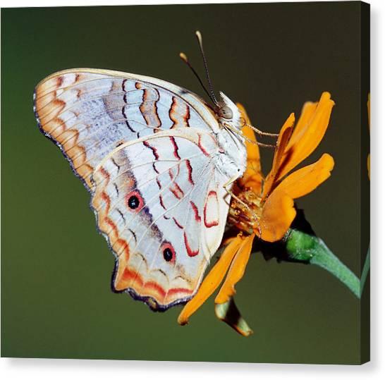 Anartia Jatrophae Canvas Print - White Peacock Butterfly by Millard H Sharp