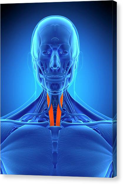 Neck Muscles Canvas Print by Sebastian Kaulitzki/science Photo Library