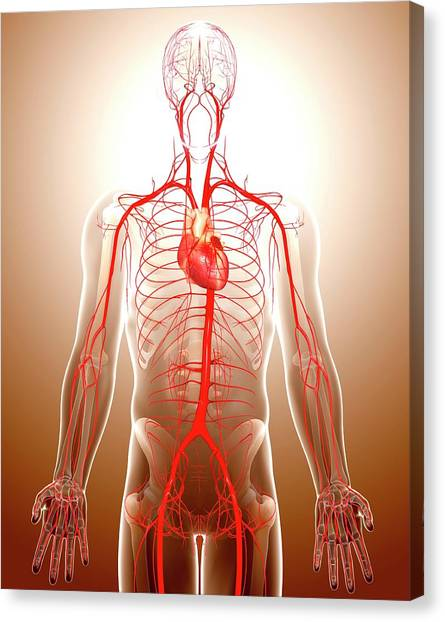 Cardiovascular System Canvas Print by Pixologicstudio/science Photo Library