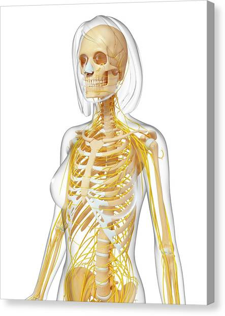 Female Anatomy Canvas Print by Pixologicstudio/science Photo Library
