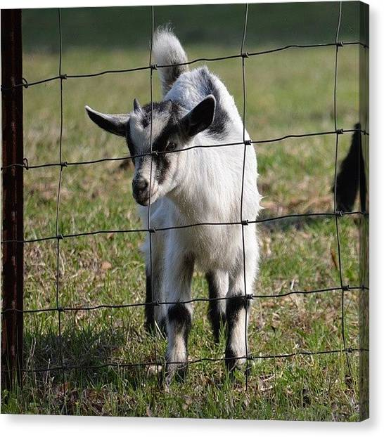 Goats Canvas Print - Baby Black And White Goat by Jessica Thomas
