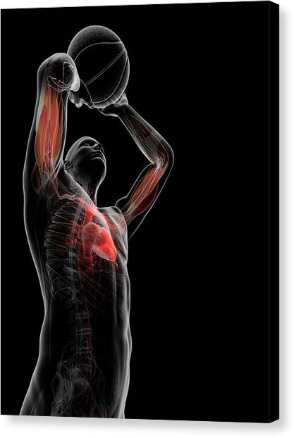 Male Anatomy Canvas Print by Sciepro/science Photo Library
