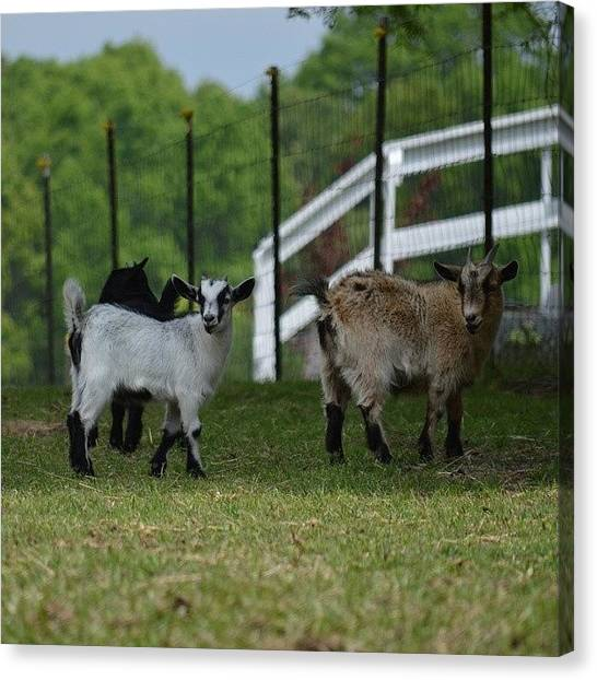 Goats Canvas Print - Goats Playing by Jessica Thomas