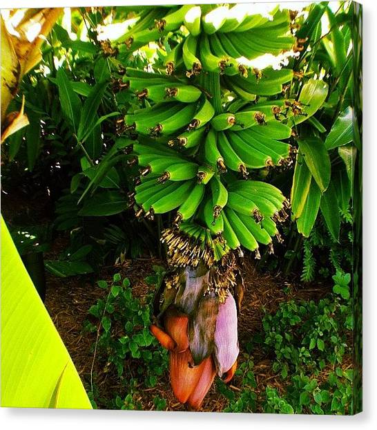 Banana Tree Canvas Print - Instagram Photo by Miki Torres