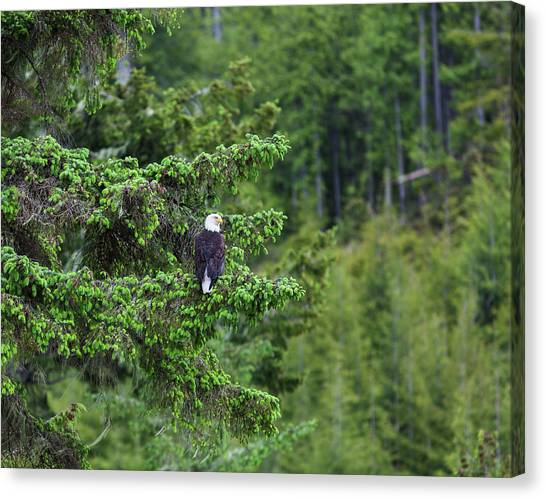 A Bald Headed Eagle Perches On A Fir Canvas Print